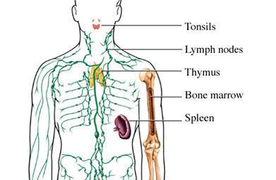 Los Órganos linfáticos