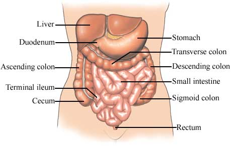 Normal Anatomy of the Large and Small Intestine