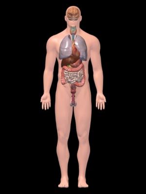 Internal organs 3D