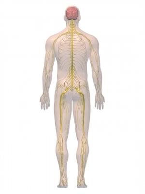 imagen 3D del sistema nervioso