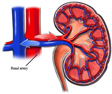 Arteria renal