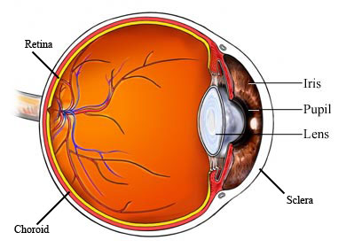 AR00032_labeled eye