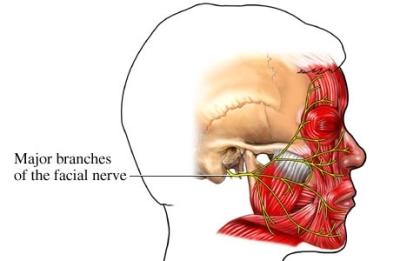 si55551125_96472_1_facial nerve innervation.jpg