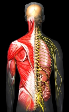 Torso muscle and nerves