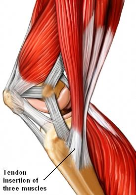 medial knee muscle insertion