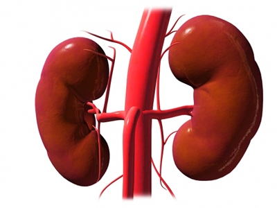Kidneys and Renal Vessels