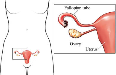Trompa de Falopio, ovario y útero