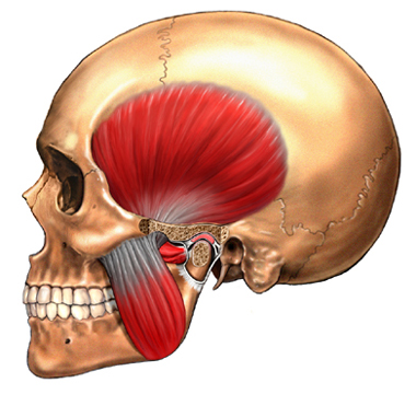 Adult Skull Showing TMJ and Muscles