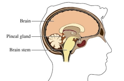 Brainstem and brain