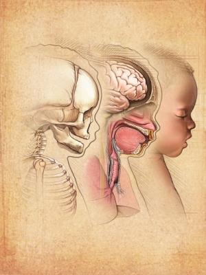 Infant Brain and skull