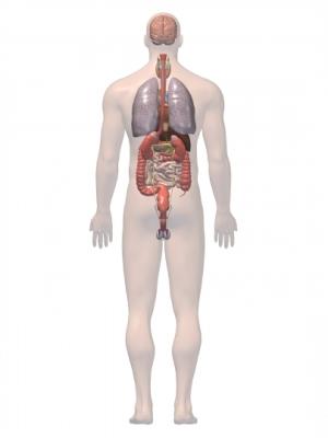 Tracto digestivo y pulmones 3D
