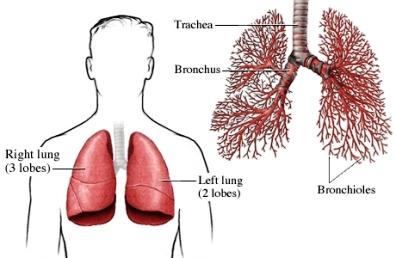 pulmões e bronquíolos