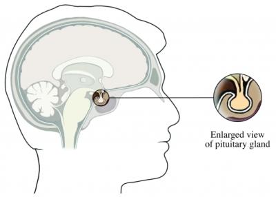 Pituitary Gland Male