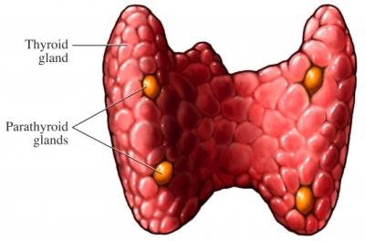 Glándula tiroide paratiroide (imagen pequeña)