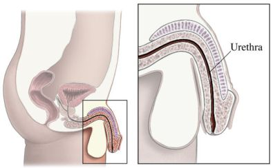 si55550234_male urethra