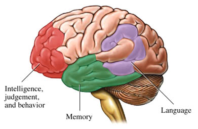 Intelligence location in brain