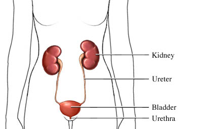 The Urinary Tract