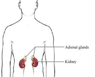 Kidney and adrenal