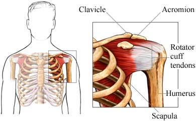Rotator cuff labeled