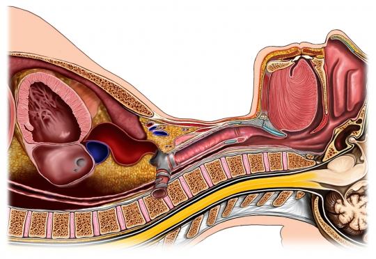 Cavidad del pecho, garganta, vista lateral