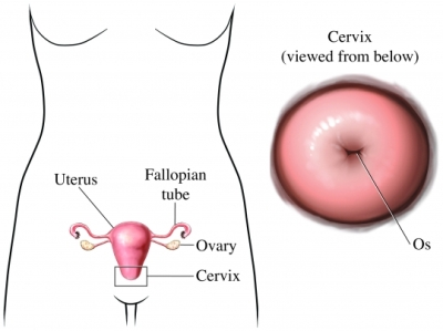 female organs cervix
