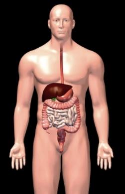 3d male digestive organs