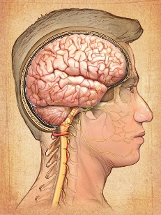 V�as nerviosas cerebrales