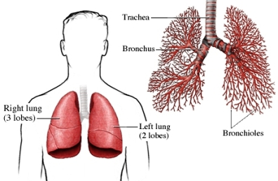 lungs and bronchioles