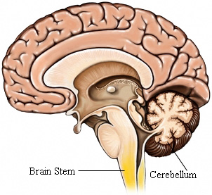 GM00010_97870_brainstem.jpg