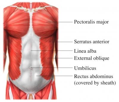 Músculos frontales del tronco