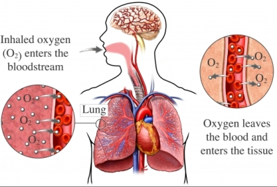 Lungs respiration