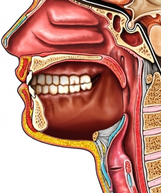 oral cavity without tongue