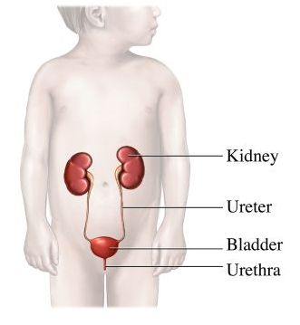 si55551330_urinary tract child.jpg