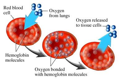 Hemoglobin - anemia