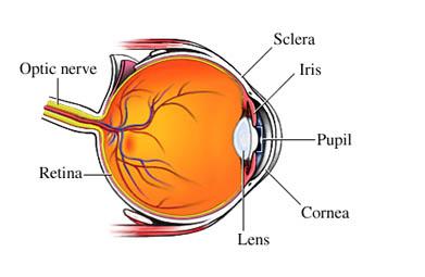 Anatomía Normal del Ojo