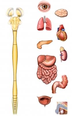 Sistema nervioso central y endocrino