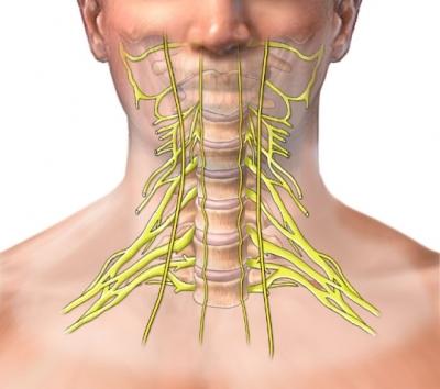 Nervios cervicales