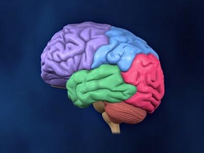El cerebro dividido por colores