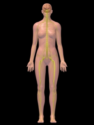 imagen 3D del sistema nervioso femenino