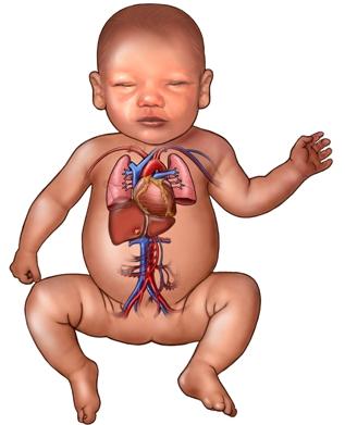 Infant cardiopulmonary system