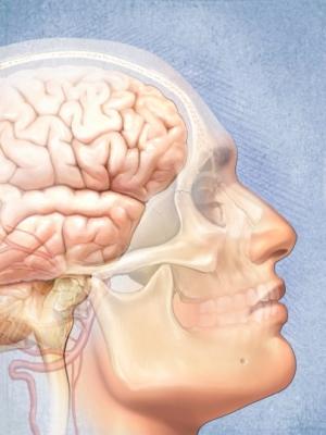 Brain face skull