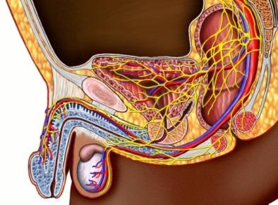 Nervios, vasos sanguíneos, pene