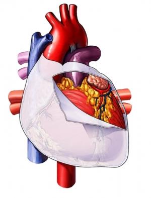 vasos sanguíneos del pericardio