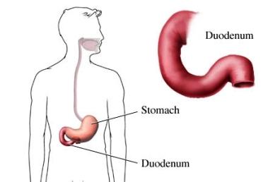 Duodeno y estómago del tubo digestivo superior