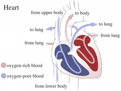 flujo sanguíneo en el corazón