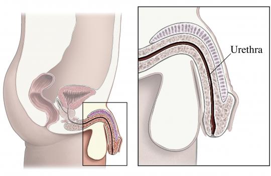 Male Urethtra