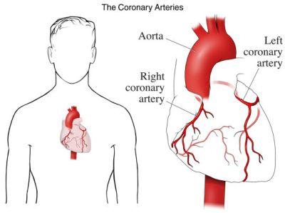 si1902_the coronary arteries