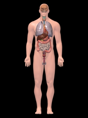 Imagen tridimensional de los órganos internos
