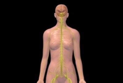 Cerebro femenino, nervios, torso