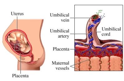 Función de la placenta
